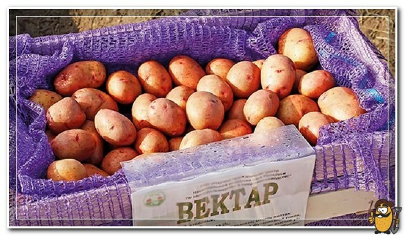 картофель вектар