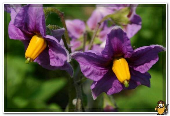 цветы картофеля фиолетовые