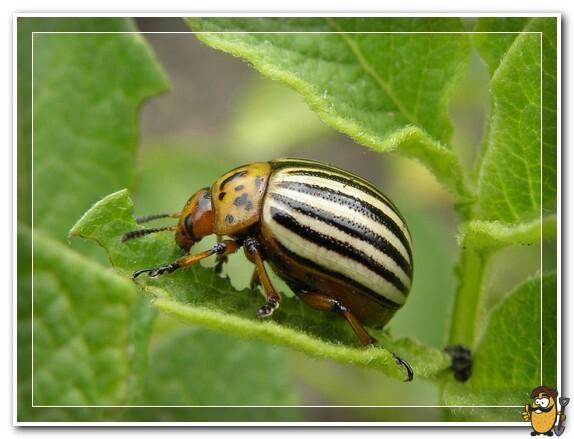 колорадский жук ест ботву