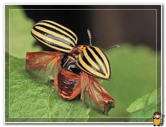 крылья колорадского жука