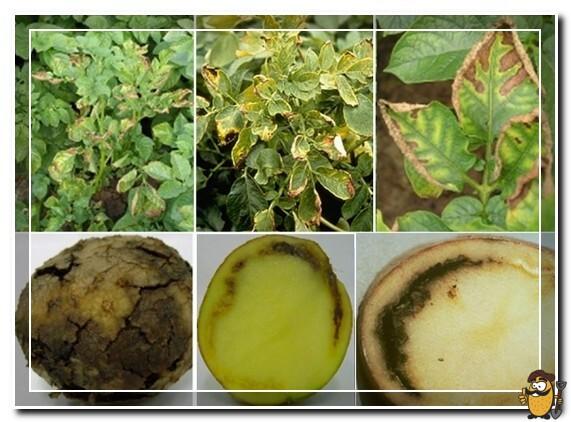sipmtomy-makrosporioza-kartofelya