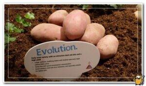 эволюшион картофель