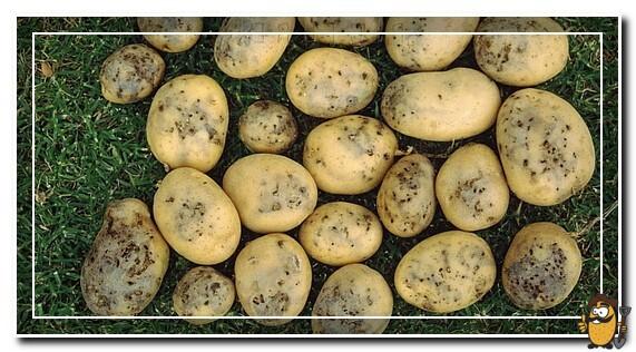 картофельная моль на урожае картофеля