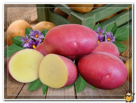 цветы картофеля эволюшн