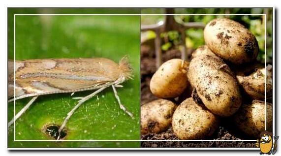 урожай-картофеля