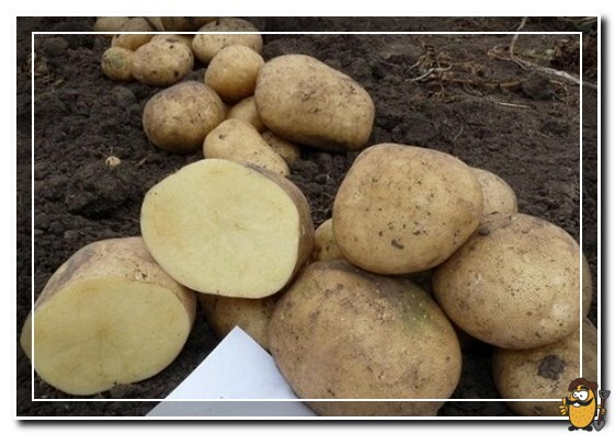 клубни картофеля аризона