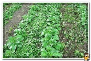 сорняки картофеля
