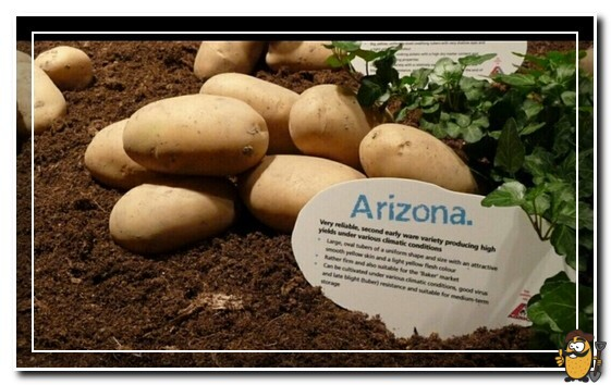 сорт картофеля аризона