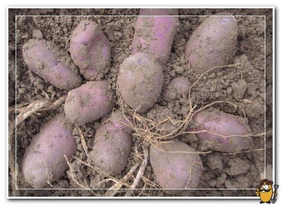 картофель сорта василек