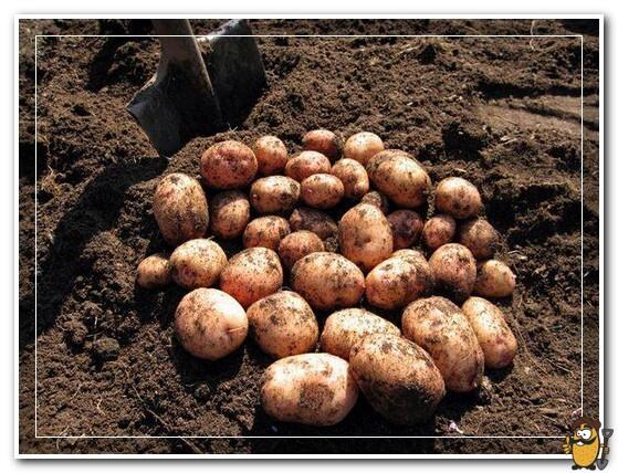 копаем картофель