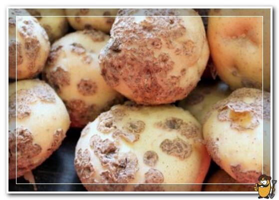 парша на картофеле лорх