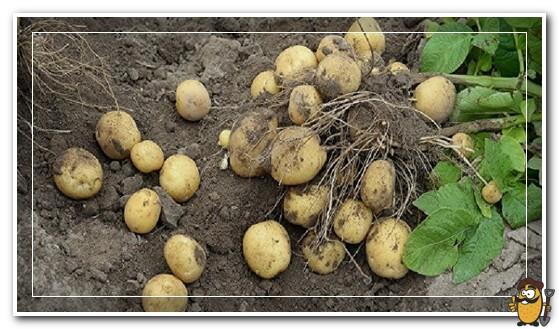 сбор картофеля лорх