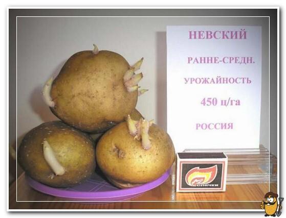 kartofel-nevskij-opisanie-sorta