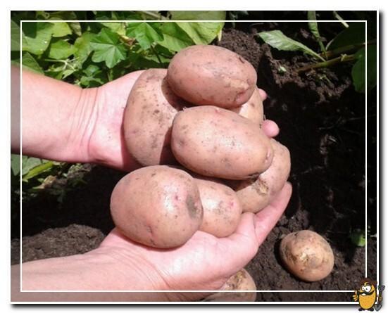 картофель-жуковский
