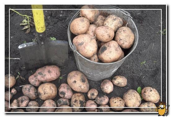 сбор картофеля жуковский