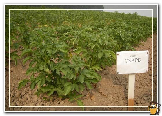 kartofel-skarb-na-ogorode
