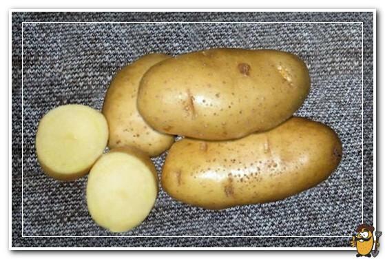 сорт картошки скарб