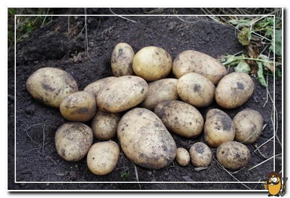 картофель андретта