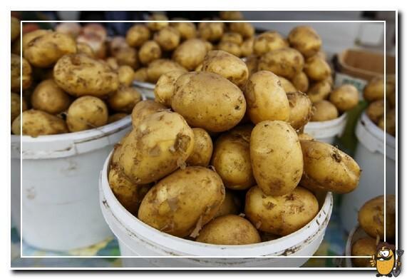 kartofel-semennoy-adretta