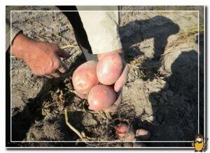 картошка журавинка