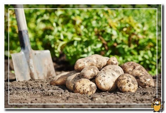 сбор картофеля бриз