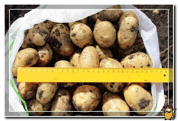 хранение картофеля импала