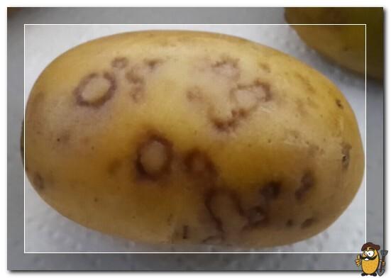 potato-virus-y