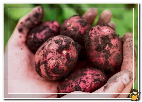 каменский сорт картофеля